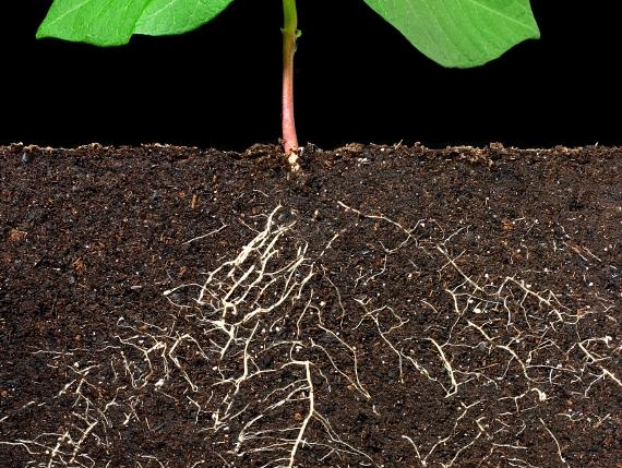 Mikroorganismen tummeln sich nicht nur in der Pflanze, sondern auch im Boden um die Wurzeln. (Quelle: © iStockphoto.com/8ran)