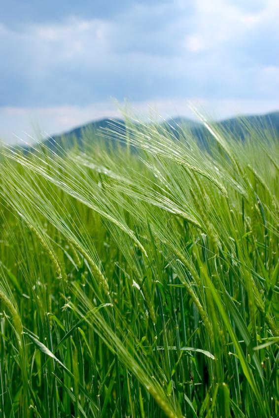 Pollensterilität und unvollständige Transgene verhindern, dass sich der transgene Weizen in der Umwelt ausbreitet.