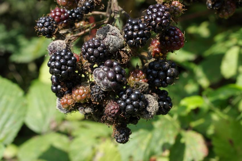 Grauschimmel ist ein wahrer Generalist. Er befällt über 235 Wirtspflanzen und wird durch den Schimmelpilz Botrytis cinerea verursacht.