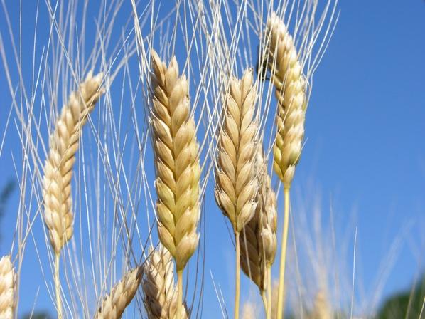 Wissenschaftler haben das Genom des Wilden Emmers sequenziert. (Bildquelle: © Janine Fretz Weber/ Fotolia.com)
