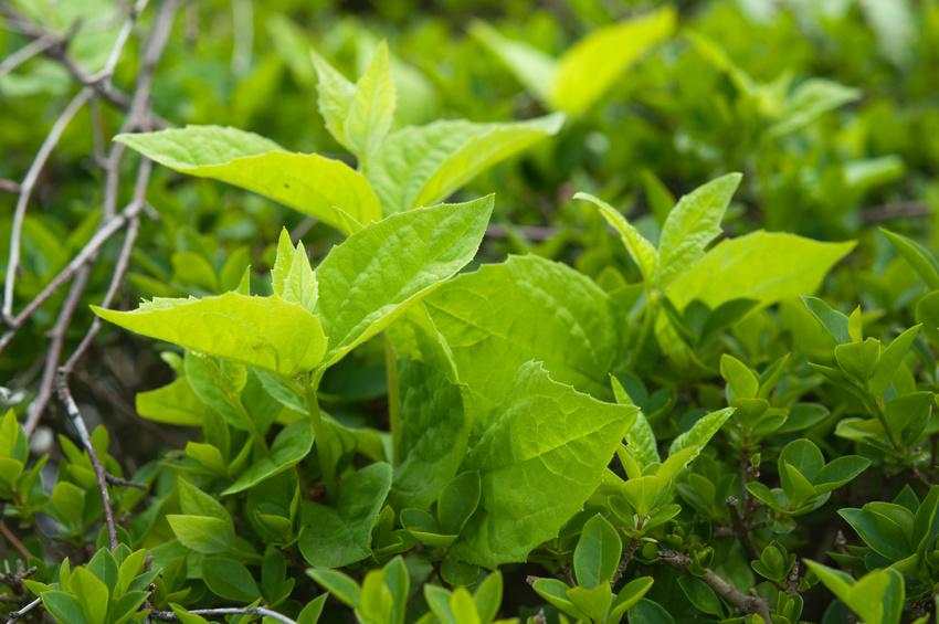 Blätter haben die höchste Photosyntheseleistung, wenn sie gerade frisch ausgewachsen sind. (Bildquelle: © Igor Yurievich/Fotolia.com)