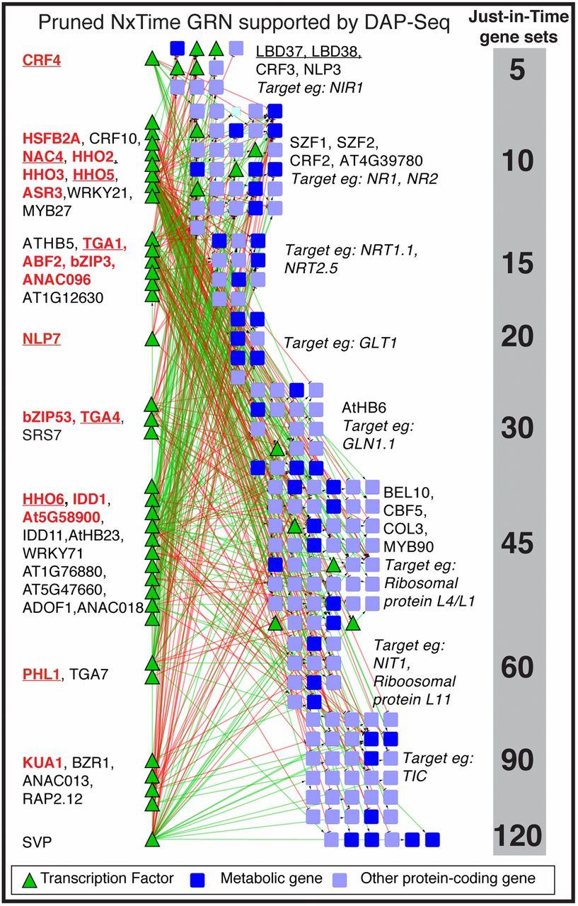 Das Schaubild zeigt, wann die Transkriptionsfaktoren (grüne Dreiecke) aktiv sind und auf welche Gene (blaue Kästchen) sie wirken. In der rechten grauen Spalte stehen die Minuten ab dem Zeitpunkt der Stickstoffgabe.
