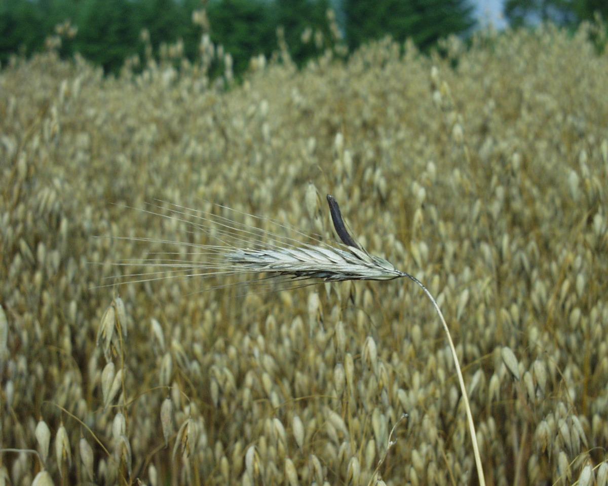 Das Mutterkorn kann bei vielen Getreidearten zu großen Ernteeinbußen führen.