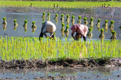 Reis ernährt die Welt. Reispflanzen sind sehr salz-empfindlich. Mit einem Experiment haben die Forscher nach einem Indikator für die Salztoleranz von Reispflanzen gesucht. Mit Erfolg (Quelle:© hoangtran / Fotolia.com).