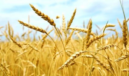 Weizen ist ein wirtschaftlich bedeutendes Getreide.
