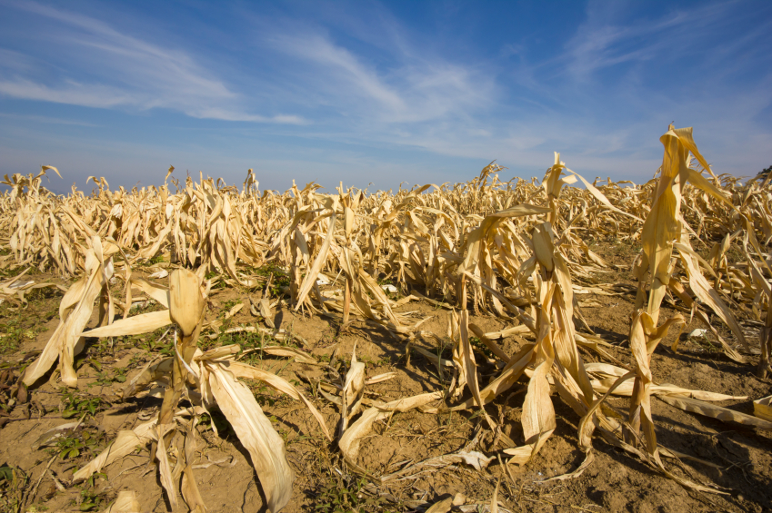Transposons greifen bei Stress, z.B. Trockenstress,  in die Genregulation der Pflanze ein. (Bildquelle: © iStock.com/Marccophoto)