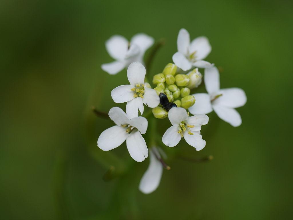 Über epigenetische Veränderungen kann sich eine Pflanze an schwierige Umweltbedingungen anpassen. Ob sie diese Fähigkeit stabil an ihre Nachkommen weitergeben kann, ist bisher nicht geklärt. (Bildquelle: © Dawid Skalec/wikimedia.org/CC BY-SA 4.0)