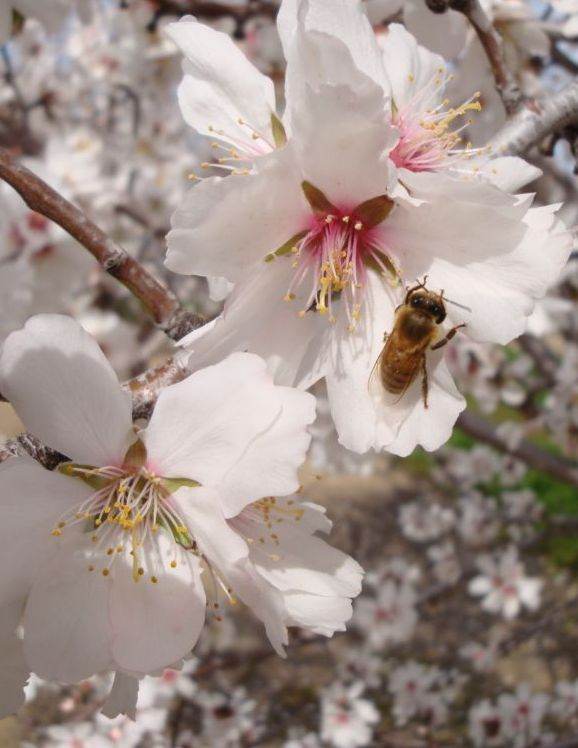 Honigbiene im Mandelbaum.