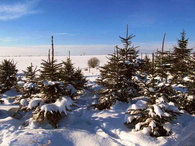Es existieren nur relativ wenige Nadelbaumarten. Aber es gibt sie fast überall auf der Welt. (Quelle: © Andreas Hermsdorf / pixelio.de)
