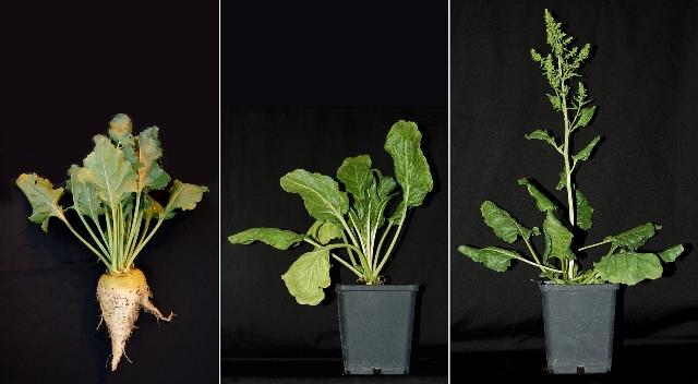 Die Zuckerrübe (links), eine normal wachsende Zuckerrübenpflanze (Mitte) und eine schossende Pflanze (rechts).