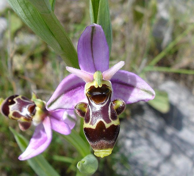 Die Blüten der Schnepfen-Ragwurz (Ophrys scolopax) sehen weiblichen Langhornbienen zum Verwechseln ähnlich und locken auf diese Weise Männchen an.