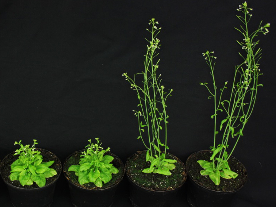 Wuchsdefekte der Modellpflanze Ackerschmalwand, die durch fehlende Steroidhormonwirkung ausgelöst werden (links), konnten durch Wiederherstellen der Gibberellinproduktion behoben werden (rechts).