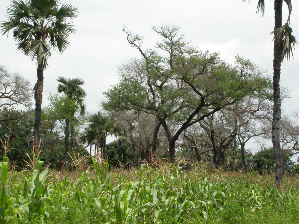Die Forscher der Metastudie sehen in  Konzepten wie der Agro-Forstwirtschaft besonders großes Potenzial. (Bildquelle: © Marco Schmidt/ wikimedia.org/ CC BY-SA 2.5)