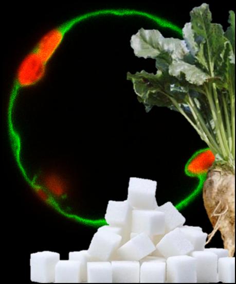 Diese Fotomontage zeigt 1) die Rübe, 2) den daraus gewonnenen Zucker und 3) den vakuolären Saccharose-Transporter BvTST2.1 (Jung et al. 2015), der durch Grün fluoreszierende Proteine sichtbar gemacht wurde. In Rot sieht man die Chloroplasten, um die sich die grün markierte Vakuole schmiegt.