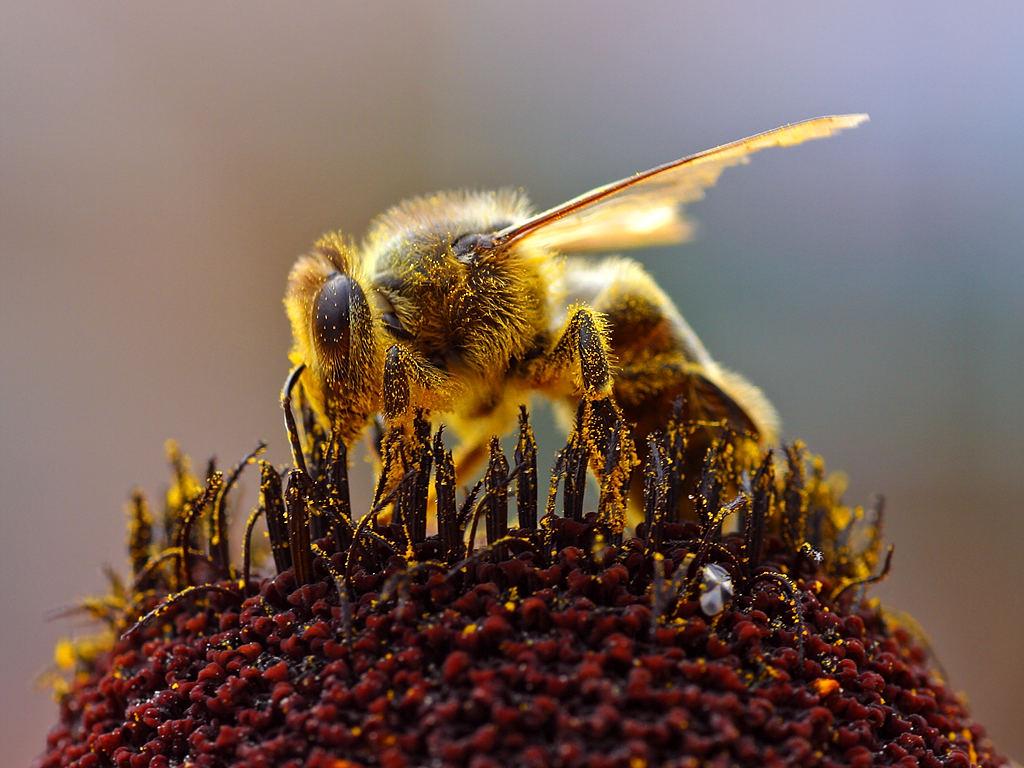 Eine Honigbiene bestäubt rund 200-300 Blüten pro Flug. (Bildquelle: © Jon Sullivan/Wikimedia.org/Gemeinfrei)