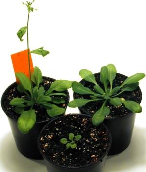 Unterschiedliche Wachstumsstadien des Ackerschmalwands (Arabidopsis thaliana). Innerhalb von 6-8 Wochen durchläuft eine Pflanze den Generationszyklus vom Pflanzenkeimling zum Pflanzensamen.