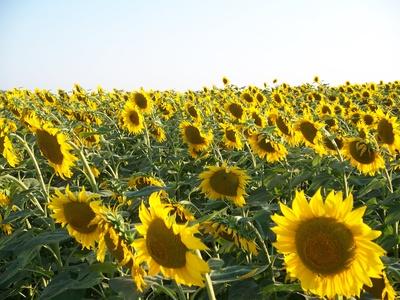 Nicht immer ist Variabilität bei Kulturpflanzen erwünscht. Bei stabilen Umweltbedingungen möchten Landwirte beispielsweise, dass alle Pflanzen zum gleichen Zeitpunkt blühen. Genomweite Varianz-Analysen könnten helfen, die Variabilität bestimmter Eigenschaften gezielt zu verringern.