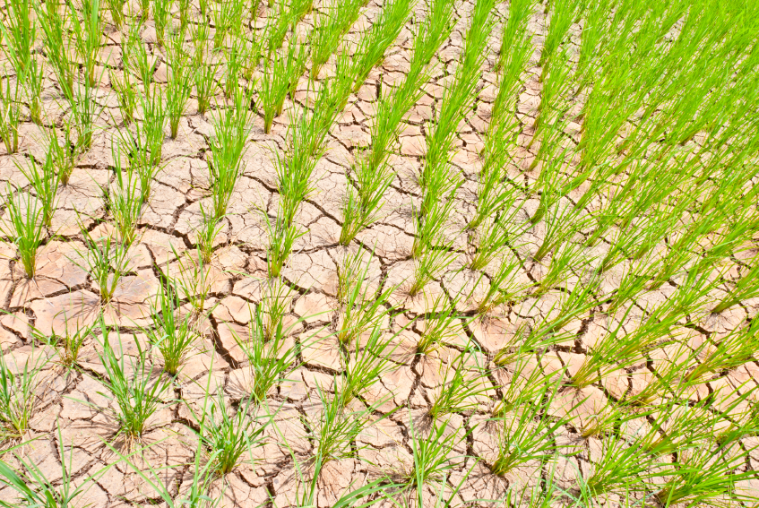 Der afrikanische Reis wurde von asiatischen Sorten verdrängt. Diese sind jedoch schlecht an die afrikanischen Umweltbedingungen angepasst, wie z.B. starke Trockenheit. (Bildquelle: © wuttichok - Fotolia.com)