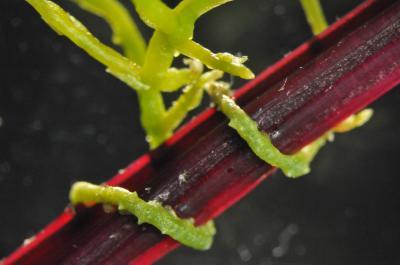 Wenn der Teufelszwirn eine Pflanze attackiert, dann tauschen Parasit und Wirt zahlreich genetische Informationen aus. Das Bild zeigt einen Teufelszwirn (Cuscuta pentagona), der eine Zuckerrübe befallen hat.
