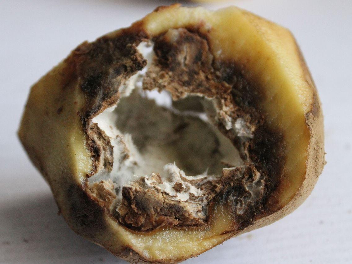 Phytophthora infestans – ein Mikroorganismus, der Geschichte schreib: Der Erreger vernichtete 1845 und in den darauf folgenden Jahren große Teile der europäischen Kartoffelernte.