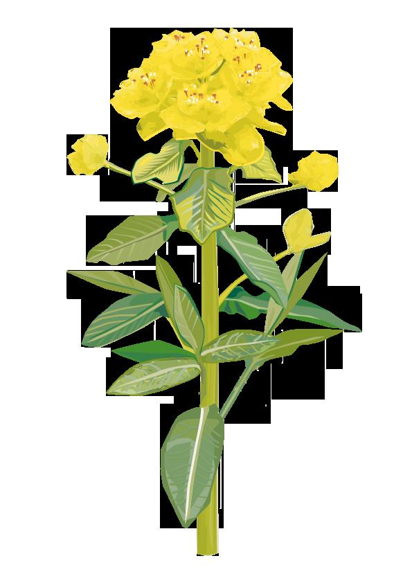 Pflanze: Kreuzblättrige Wolfsmilch
