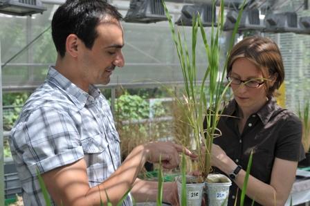 Wissenschaftler des DCPS forschen an Reispflanzen. (Quelle: © B.Wannenmacher)