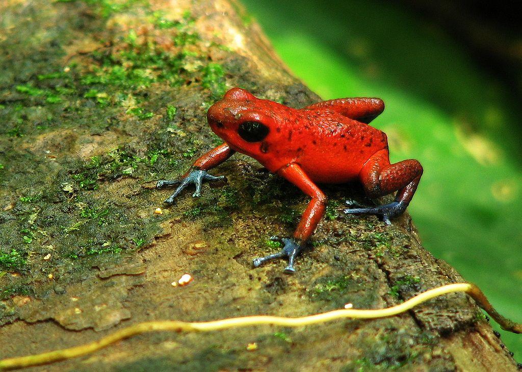 Von den Naturschutzgebiete profitiert auch die Tierwelt. Hier: Das in den Tropen und Subtropen heimische Erdbeerfröschchen (Oophaga pumilio).