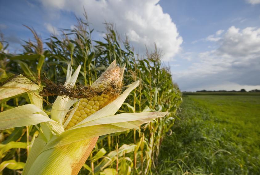 Mais, Mais, Mais: Einer der Hauptkritikpunkte des Bioenergie-Booms in Deutschland ist der massiv gestiegene Anbau von Energiemais. (Quelle: © fotandy / Fotolia.com)