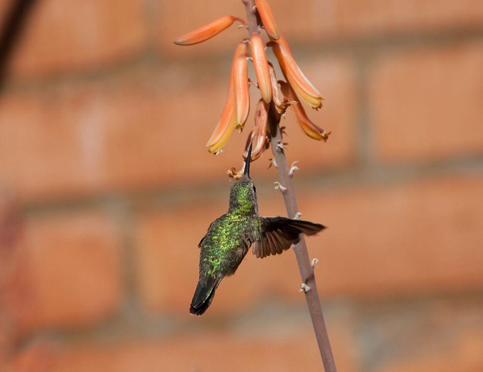 Kolibris ernähren sich von dem süßen Nektar und den Insekten, die sie in den Blüten finden, welche im Zuge der Nahrungssuche bestäubt werden.