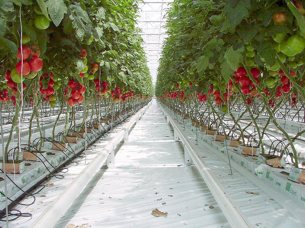 Tomaten gehören zu den ertragsreichsten Nutzpflanzen und sind ideale Pharmapflanzen.