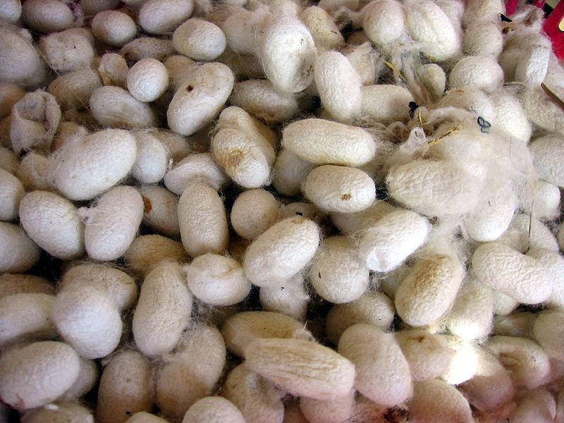 Das Seiden-Fibroin wird aus dem Kokon des Seidenspinners (Bombyx mori) extrahiert.