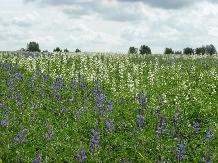 Lupinen sind eiweißreiche Pflanzen, die als Alternative zu Sojabohnen angebaut werden.