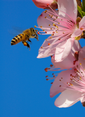 Honigbiene im Anflug auf eine Baumblüte. Gut zu erkennen sind die Pollensäckchen an den hinteren Gliedmaßen des Insekts. (Quelle: © iStockphoto.com/ rodho)