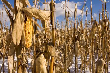 Wissenschaftler erforschen, wie sich Pflanzen gegen Kälte schützen. Ihre Kenntnisse können helfen, zukünftig kälteresistente Sorten zu züchten.