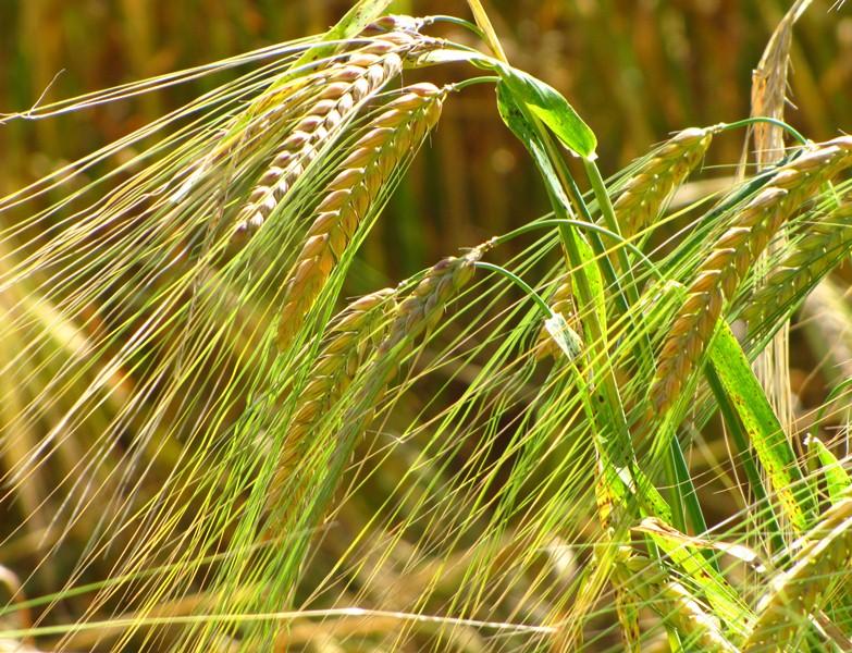 Wissenschaftler des TFZ forscht an der Verbesserung bewährter Kulturpflanzen