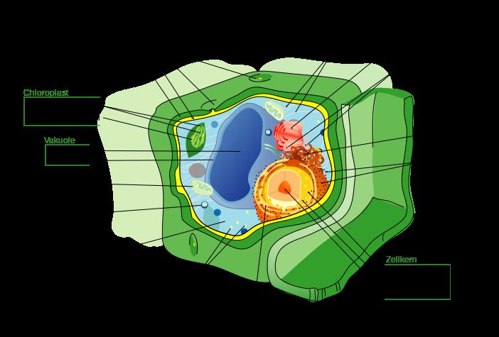 Aufbau einer Pflanzenzelle. Im Innern der Zelle befinden sich viele Organellen, die unterschiedliche Funktionen erfüllen.