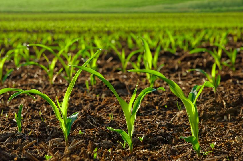 Junge Maispflanzen. (Quelle: © Smileus/Fotolia.com)