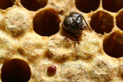 Eine Biene sieht den Feind: Eine Varroamilbe (links unten) ist im Bienenstock. (Quelle: © Claude Calcagno / Fotolia.com)