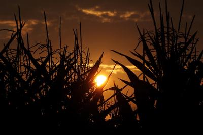 Ob ein Maisfeld zu blühen beginnt, ist auch von der Tageslänge abhängig.