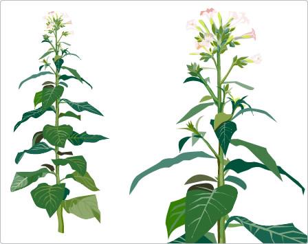 Bei ihren Experimenten pfropften die Forscher zwei unterschiedliche Tabaksorten aufeinander, den Baumtabak Nicotiana glauca und den oben abgebildeten Zigarrentabak Nicotiana tabacum.