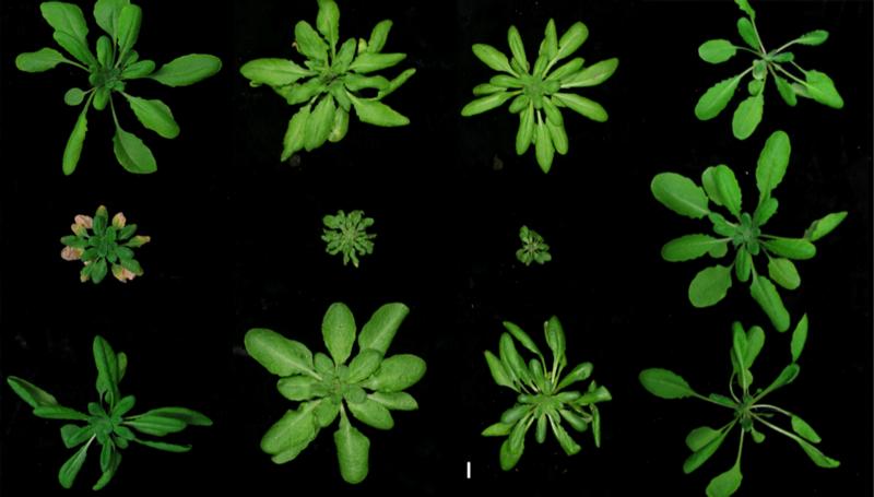 Obere und untere Reihe: Arabidopsis Stämme aus verschiedenen Regionen der Welt. Die jeweiligen Hybride befinden sich in der Mitte. (Bildquelle: © E. Chea, MPI für Entwicklungsbiologie)