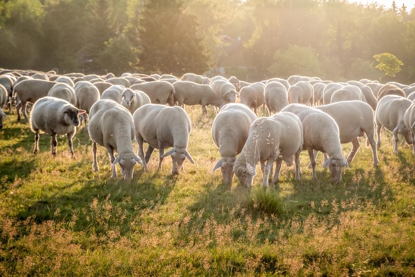 Weidetiere: Ein Schafherde grast auf einer Weide. (Bildquelle: © cmfotoworks - Fotolia.com)