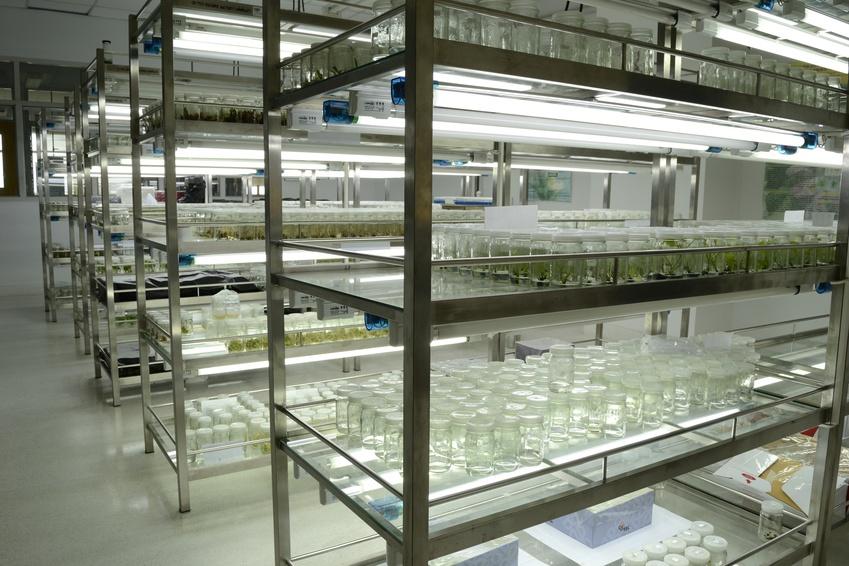 Aus Kalluszellen können vollständige neue Organismen regenerieren. Diese Fähigkeit nutzen die Forscher für ihre Experimente und erzeugten im Labor Weizen-Mutanten.