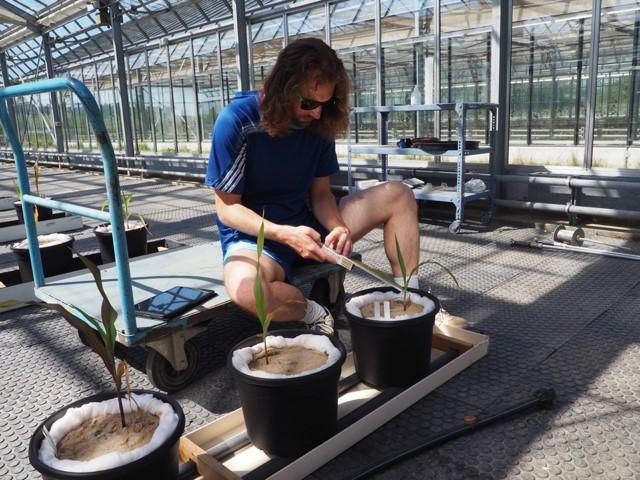 Der Doktorand Florian Berger bei der Vermessung einer Maispflanze.