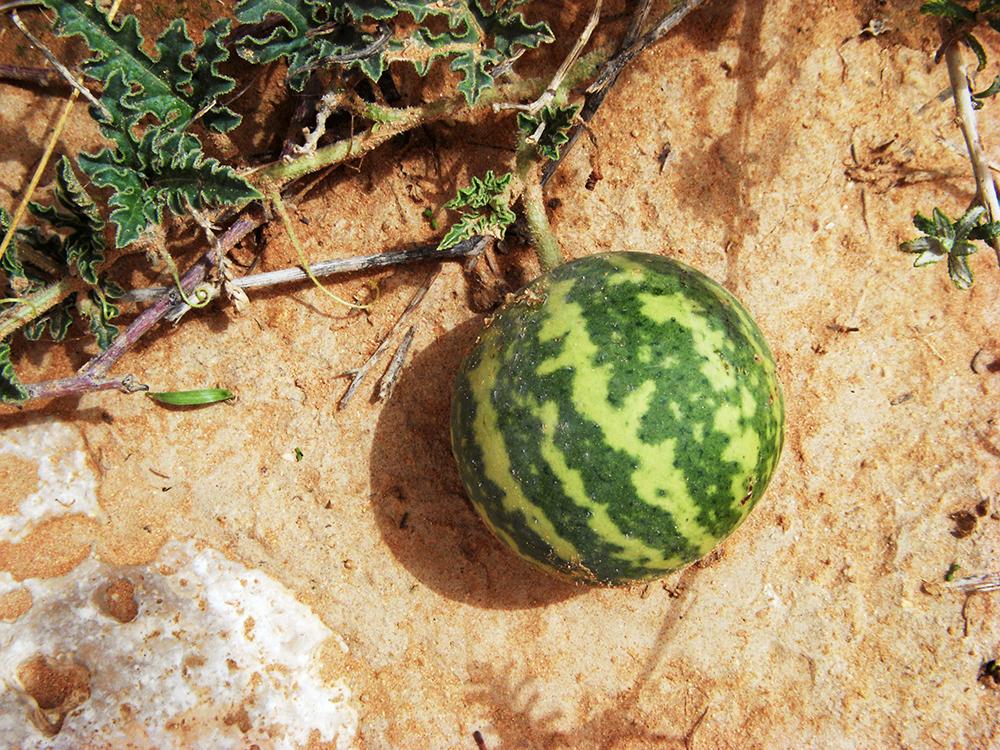 Die Wüstenpflanze Koloquinte bringt melonenähnliche Früchte hervor. (Bildquelle: © Markus Riederer / Universität Würzburg)
