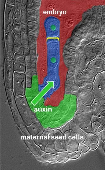 Das Hormon Auxin sammelt sich in dem Bereich des Samens an, in dem der Embryo mit dem mütterlichen Gewebe verbunden ist.