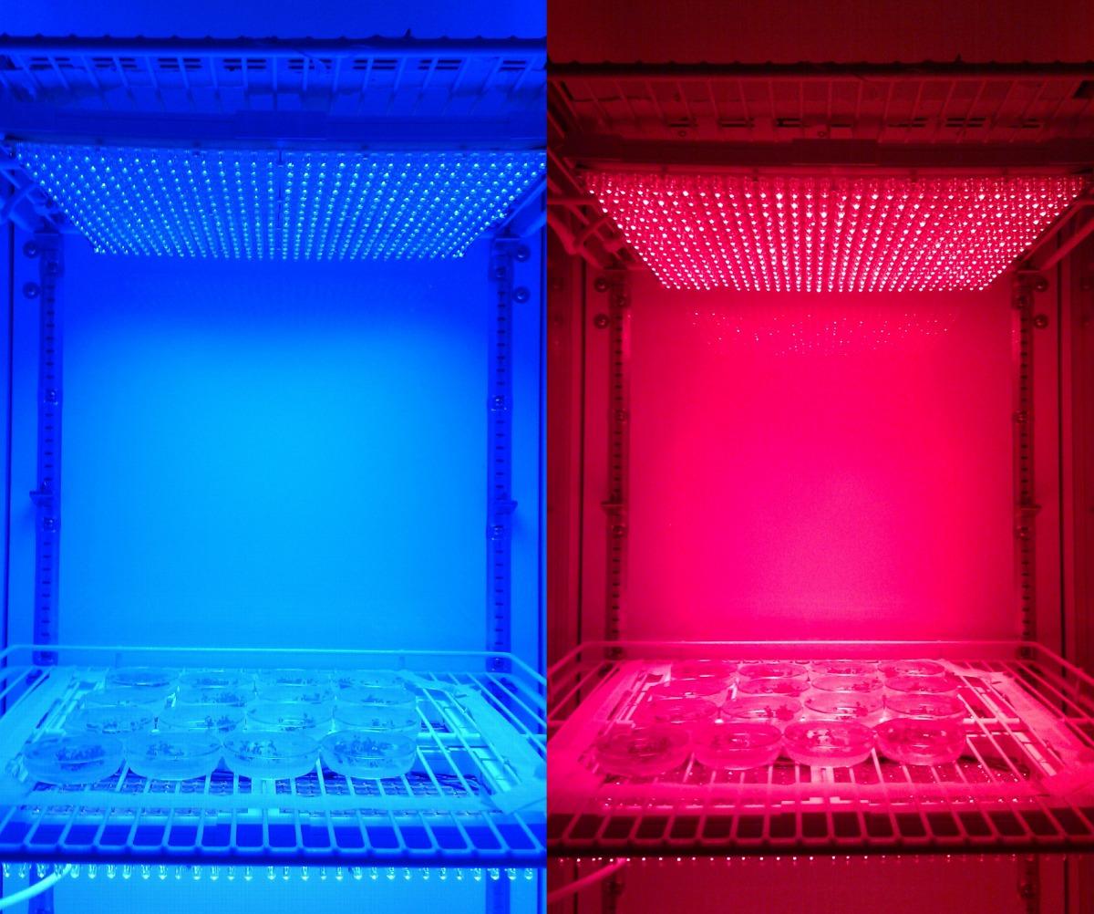 In Lichtkammern untersuchen Wissenschaftler die Aktivierung von Arabidopsis Genen durch unterschiedliche Wellenlängen.