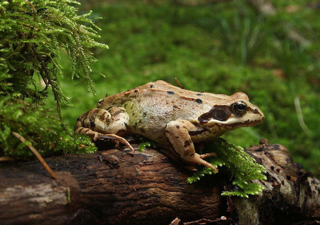 Der Grasfrosch (Rana temporaria) ist ein in Europa sehr häufig vorkommenden Frosch. Die Forscher nutzten ihn in der vorliegenden Studie als Versuchstier.