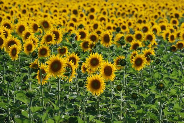 Ihren Namen erhielt die Sonnenblume aufgrund der Eigenart, ihre Blüte stets zur Sonne auszurichten (Heliotropismus) (Quelle: © Manfred Nuding / pixelio.de).