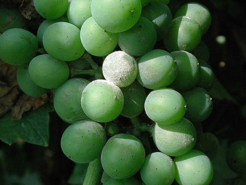 Echter Mehltau: Eine Bedrohung für den Weinbau.